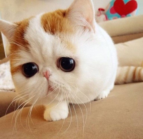 cutest-cat-ever-snoopy-zoom-face-494x480