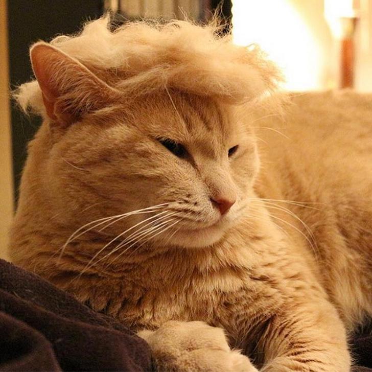 Cats-Donald-Trump-Hair